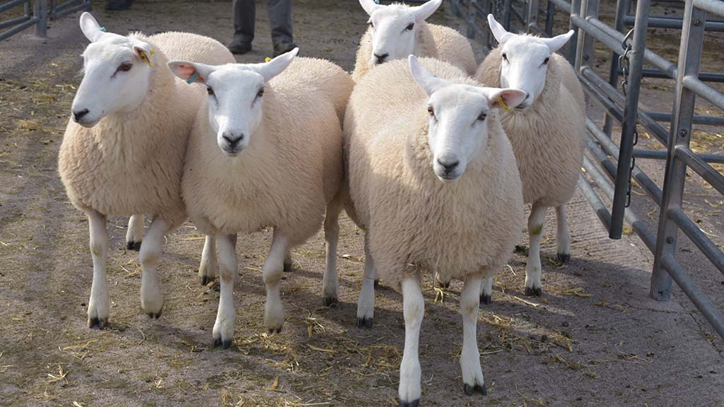 Lamb supplies to tighten in rest of 2019 - with fewer exports from NZ