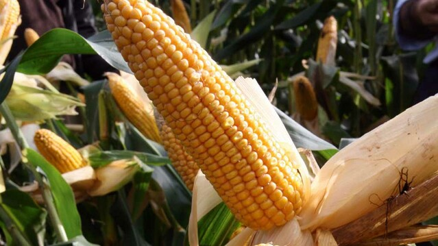 Harvest is one-shot opportunity to lock 'goodness' into maize silage