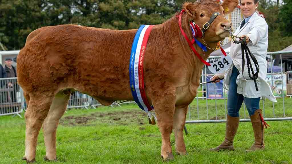 Reserve inter-breed beef and Limousin champion, Mystyle Nandini, from W. Richardson and Son, Dufton.