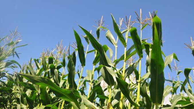Farmers have no control over the number of good and bad micro-organisms present on maize at harvest.