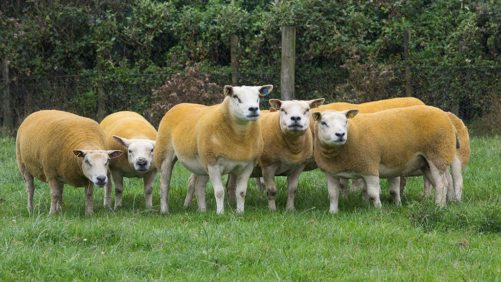Plans in place for continuity of sheep and goat health scheme
