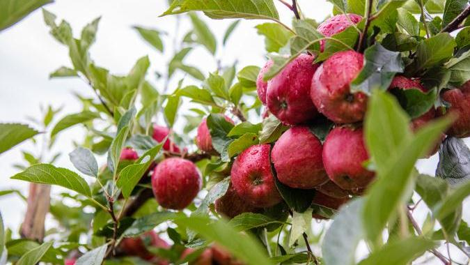 Pheremones prove their worth in orchard moth control