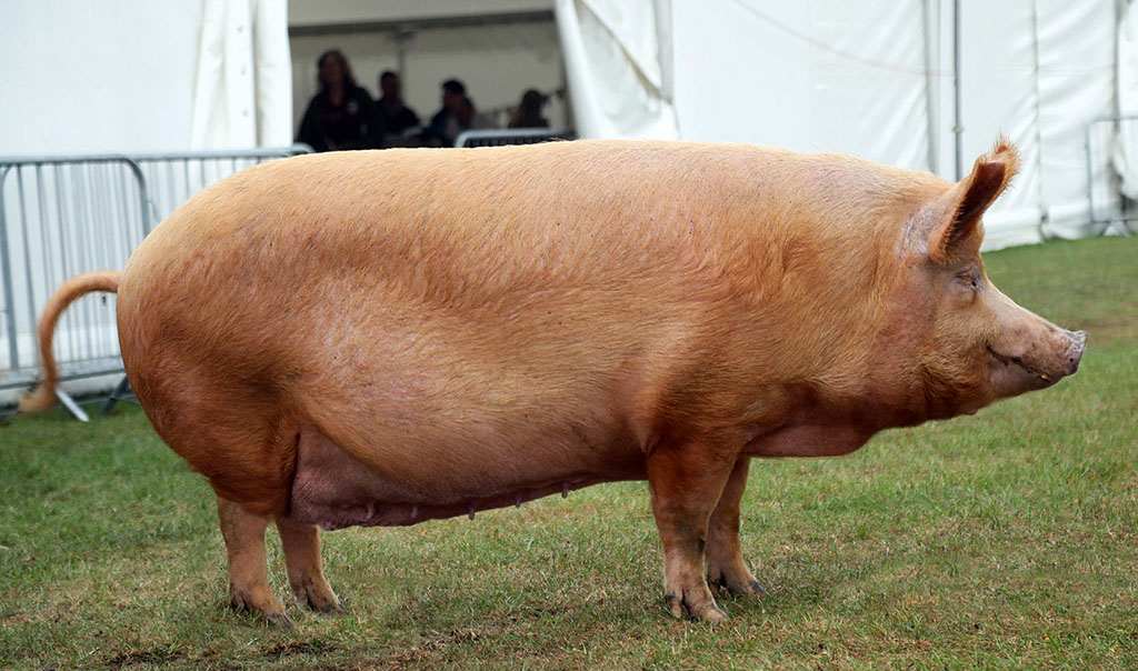 Inter-breed pig and Tamworth champion, Valstock Princess 894. from Andrew Brown.