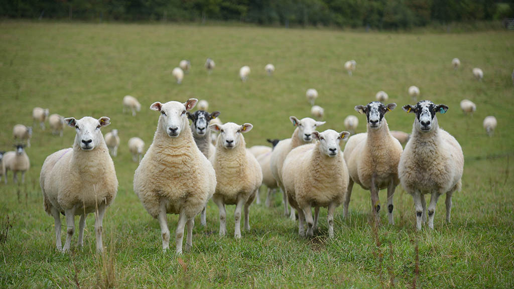 Sheep special: How to meet the needs of mid-pregancy ewes