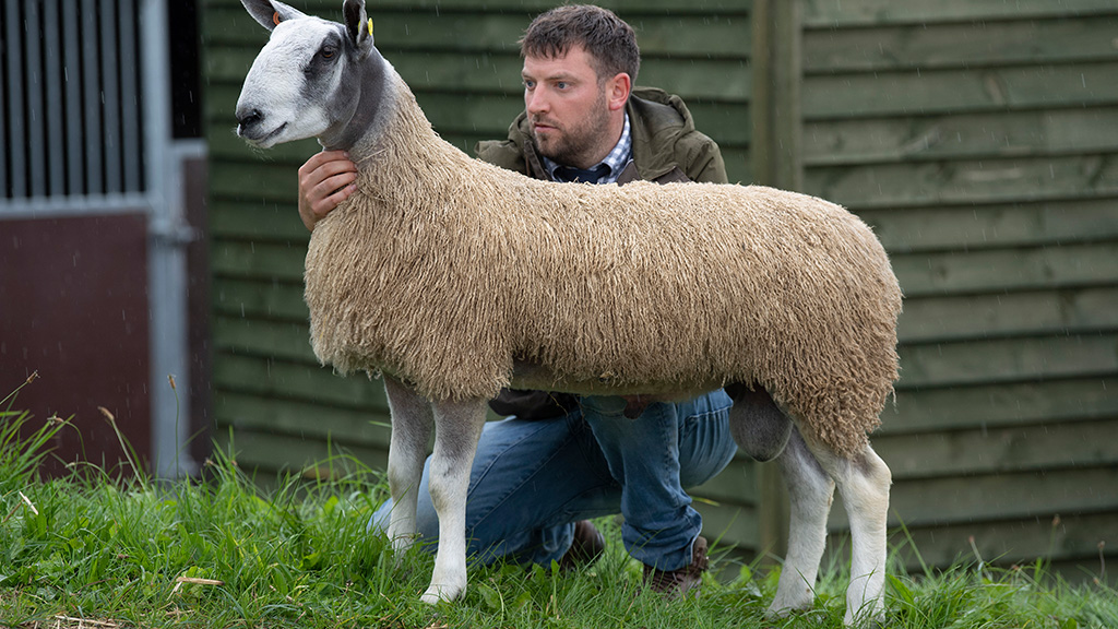 Bluefaced Leicester sale topper from Frank Johnson (Ashes), County Durham, which sold for 4,200gns.