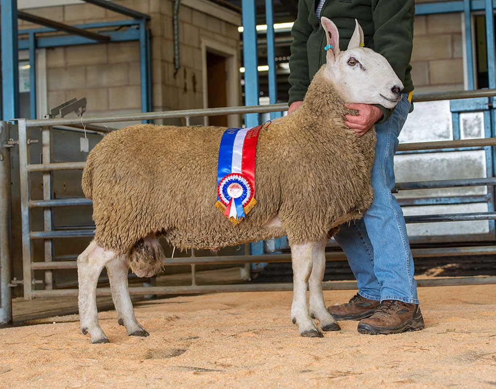 Champion and top price Border Leicester at 350gns from Eleanor Stokeld, Stokesley.