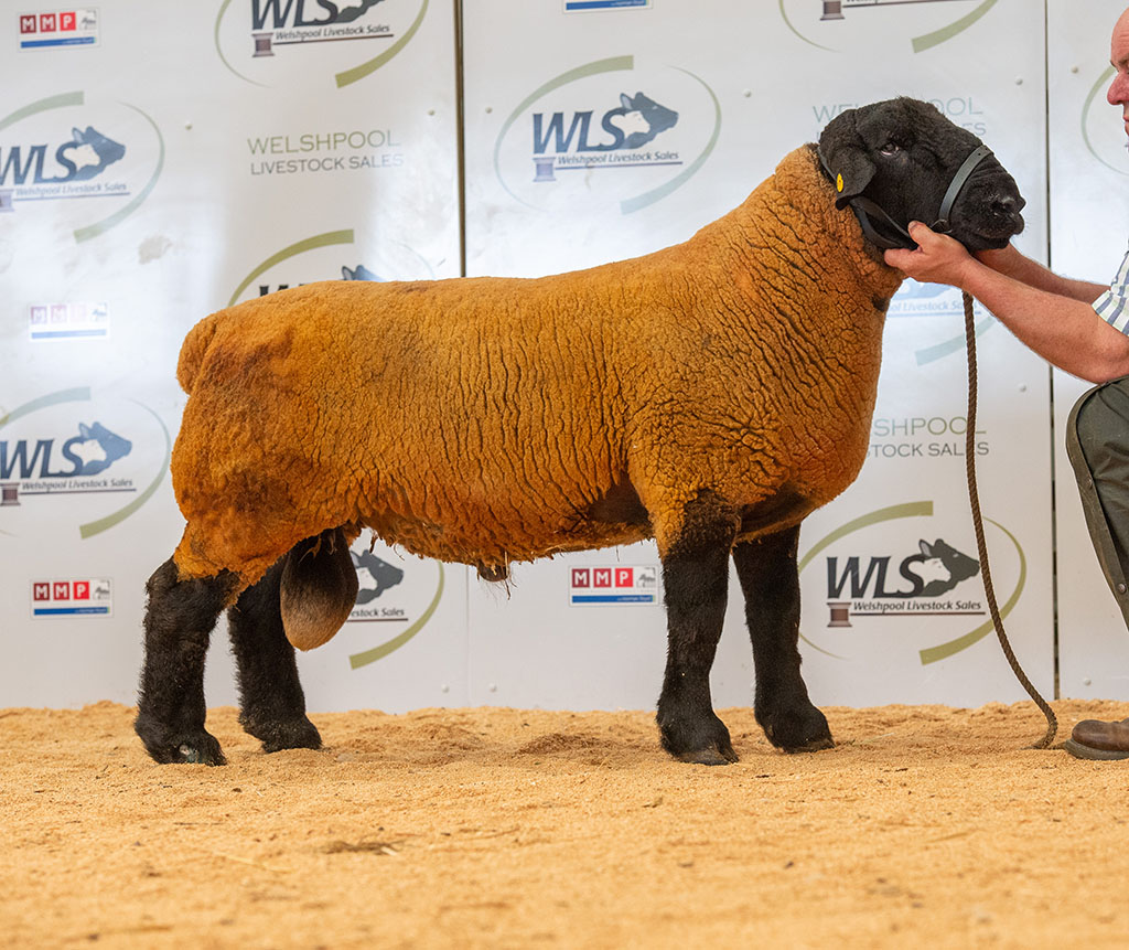 Joint top priced Suffolk at 600gns from John Pryce, Meifod.