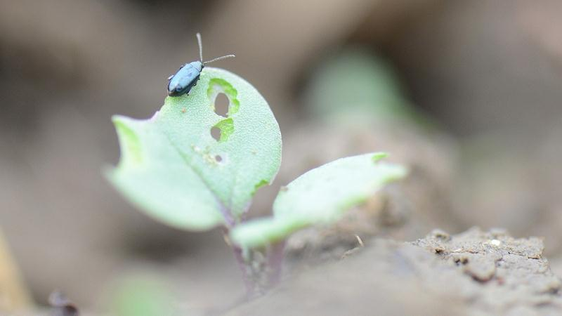 Flea beetle trials look to integrated tools