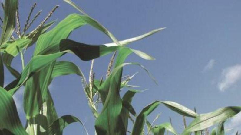 Unearthing the secrets of establishing a maize crop