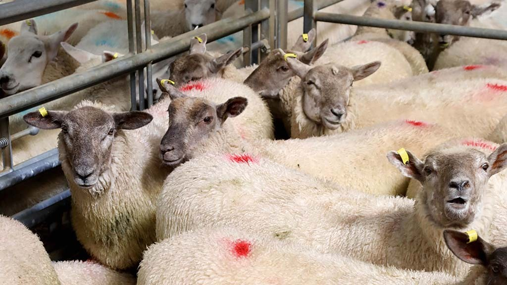 Stable trade at UK sheep marts with increase in store lambs coming forward