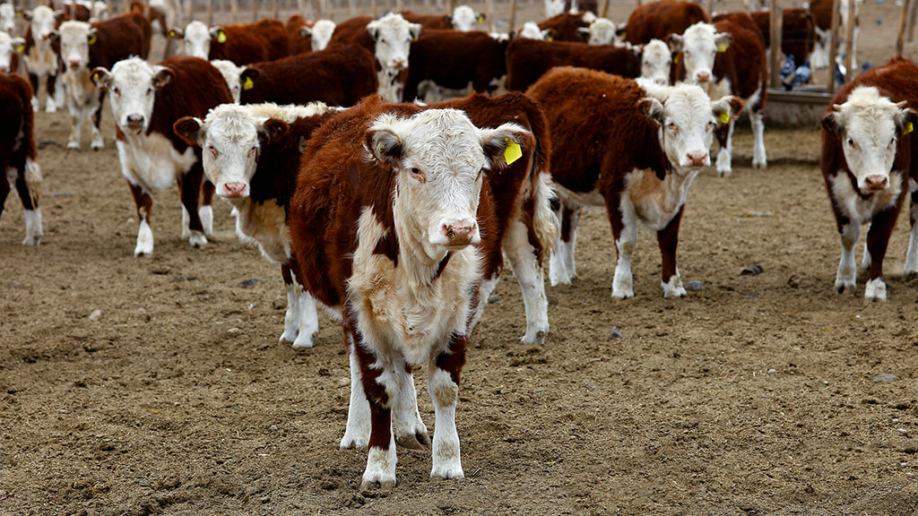 Exports of beef will reach 720,000 tonnes as Argentina eyes China market