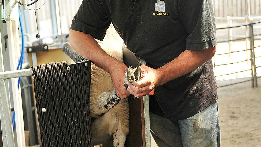 Animal health: How farmers can get rid of contagious ovine digital dermatitis