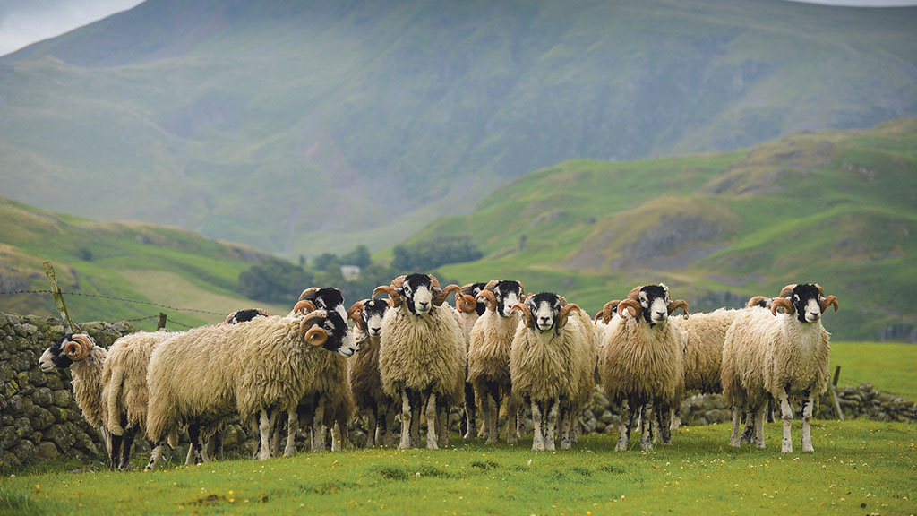 Lambs from top Swaledale tups worth up to £5 more, project shows