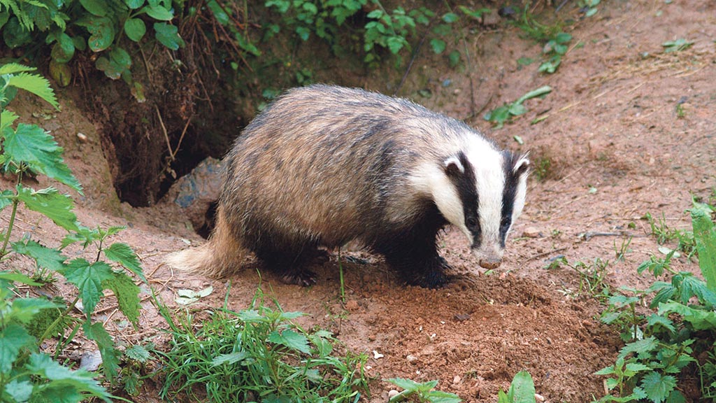 BBC under fire over 'biased' badger cull programme
