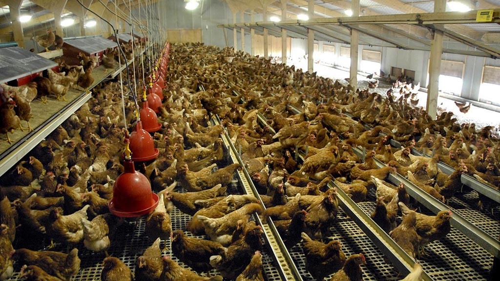 175 years of Farmers Guardian: How chicken came to rule the roost
