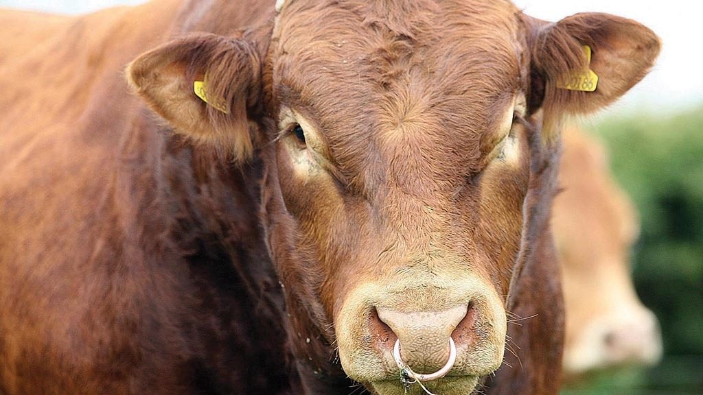 Group of breeders call for Limousin Society EGM following 'grave concerns'