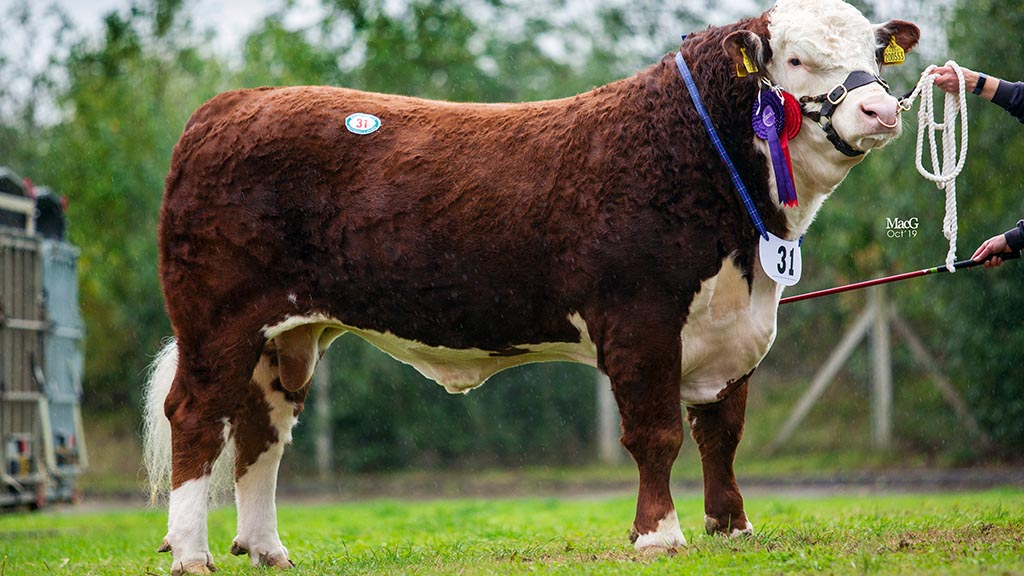 Panmure herd leads Hereford trade