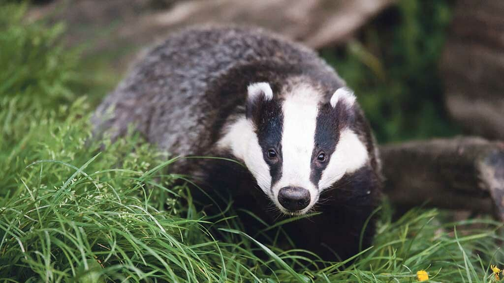 Genetic clues of tuberculosis spread between cows and badgers revealed