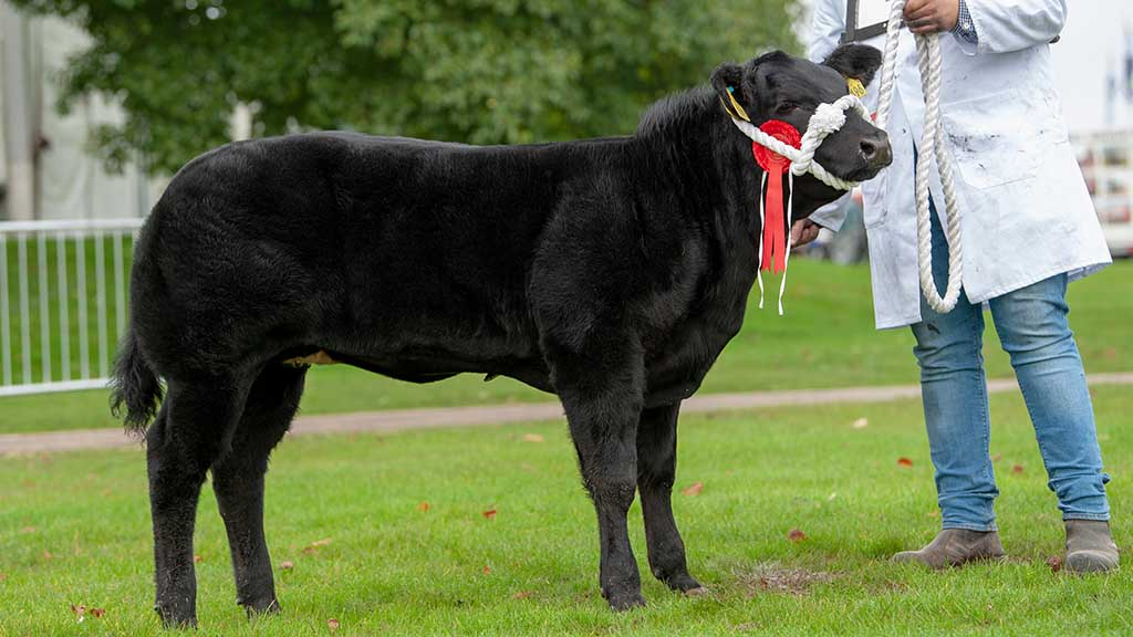 Baby beef champion Lady Millon