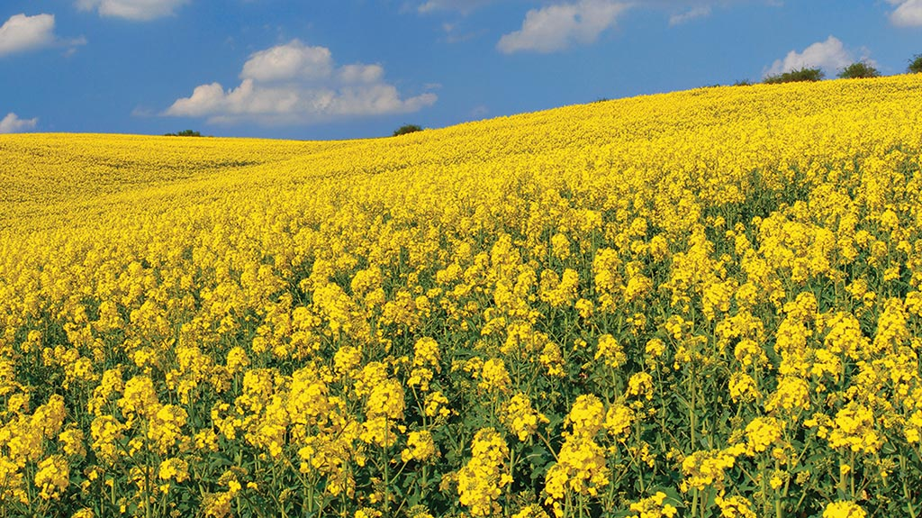 Resilience of oilseed rape should not be underestimated