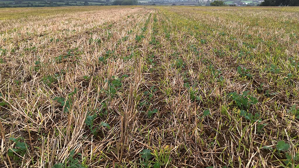 The remaining OSR is receiving unwelcome attention from pigeons.