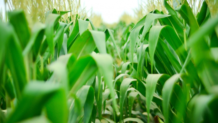 Managing maize mycotoxins to reduce feed waste starts in the field