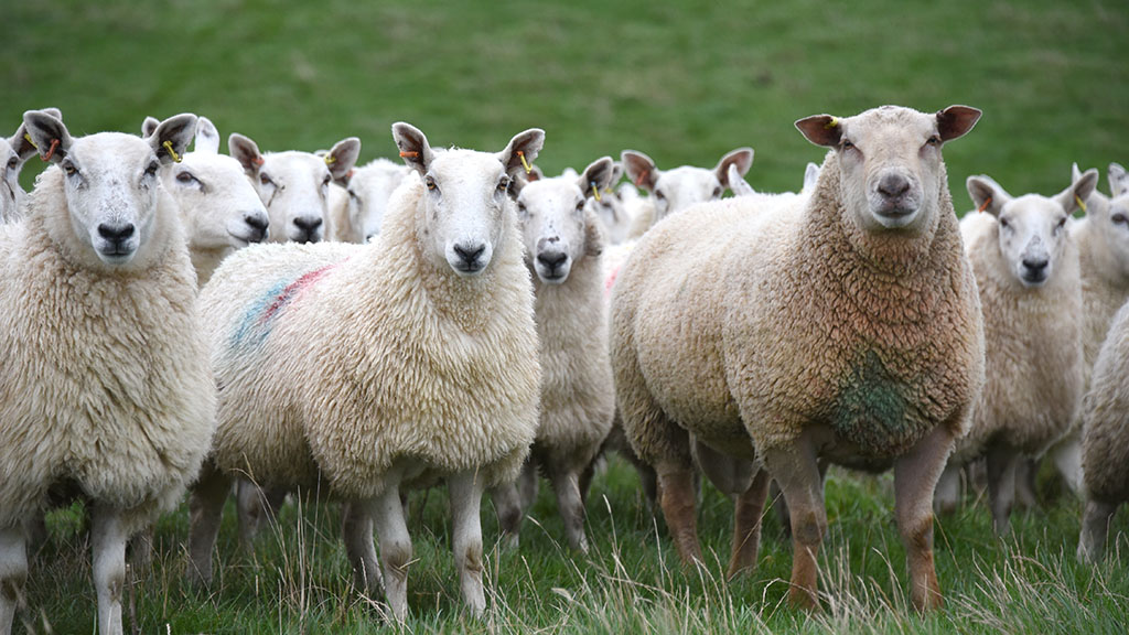 Cut costs with rumen-protected soya for pregnant ewes