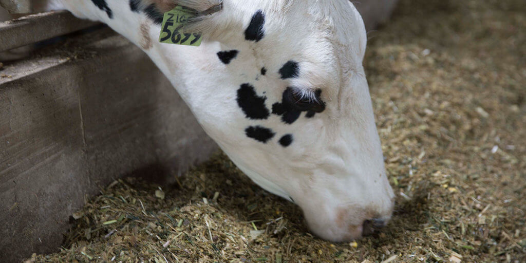 Five Key Nutritional Needs for Dairy Transition Cow Success