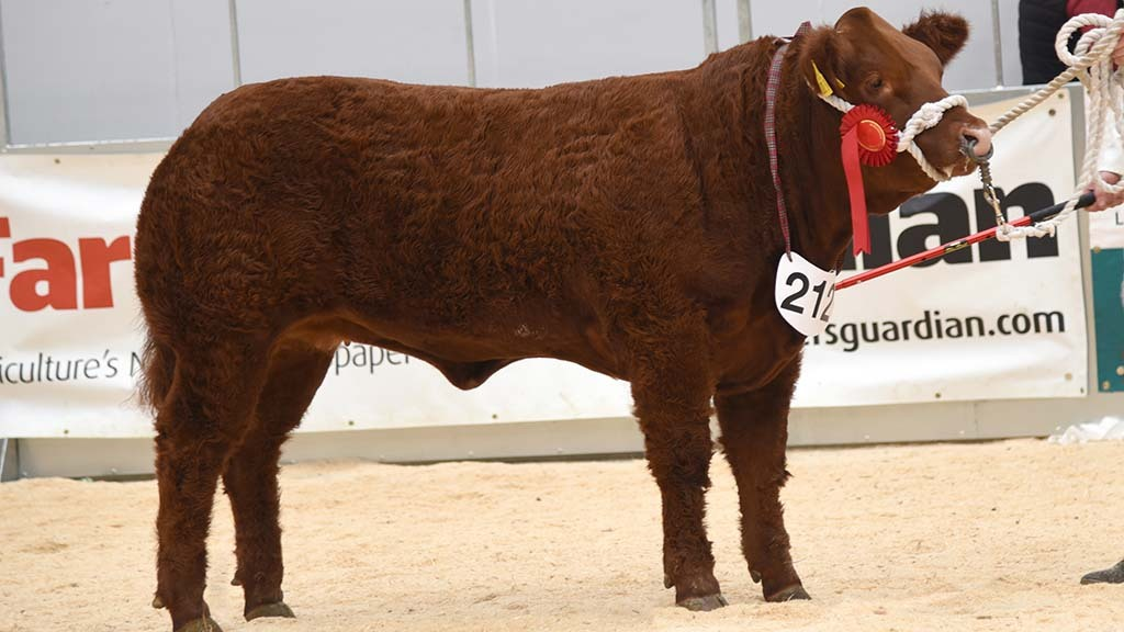 Baby beef champion, Limousin sired Loveable Rogue, from S. Hunter and S. Dick.