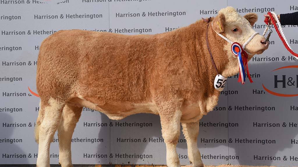 North West Simmental Club Calf Show