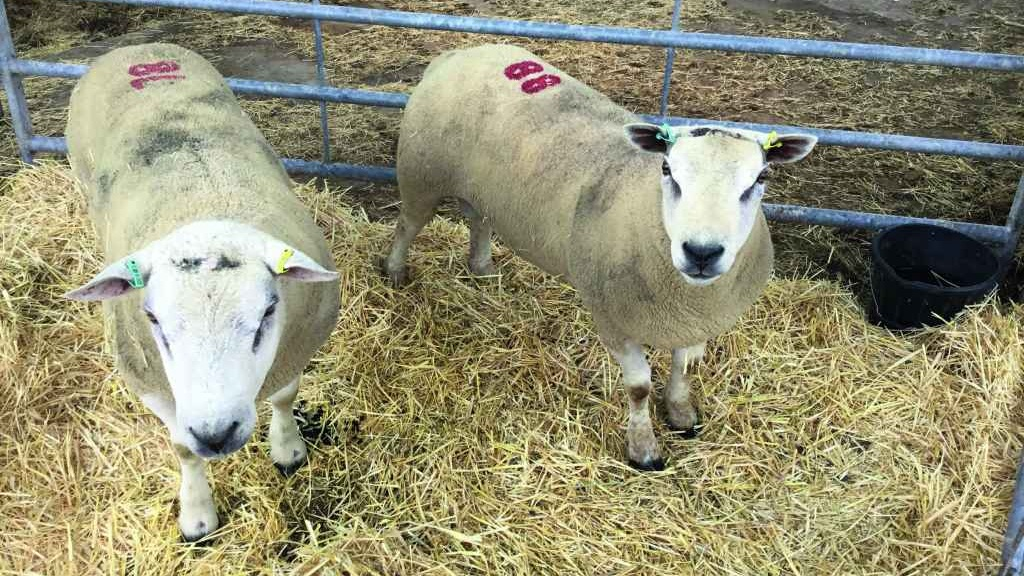 Ewes now generally come in from strip-grazing forage crops over winter,