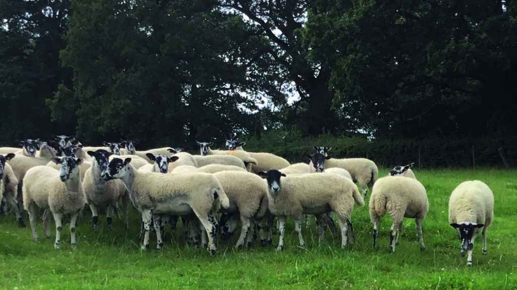 Replacement ewes at Hill Farm