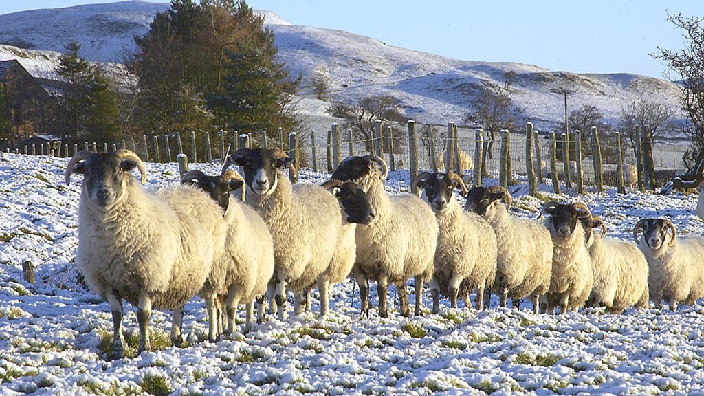Sheep special: Breeders aim to create the world's best sheep industry