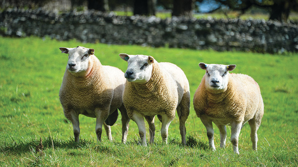 Sheep special: Research results reveal reasons behind 'Texel throat'
