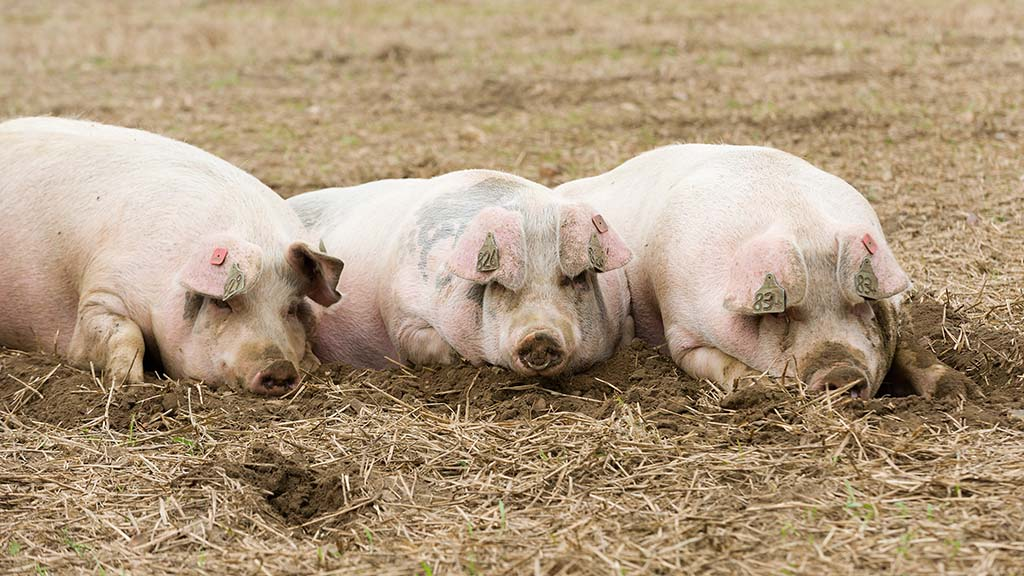 African Swine Fever transforms global market as EU countries exposed