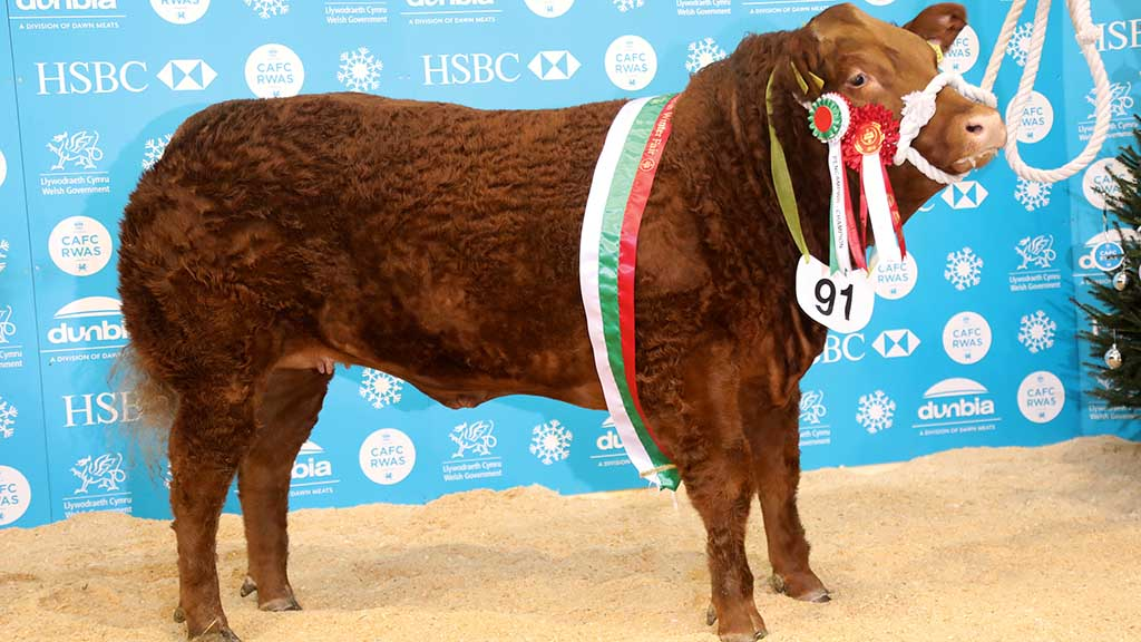 Overall cattle and heifer champion, Limousin sired Rizzo, from Messrs Wilkinson and Marwood.