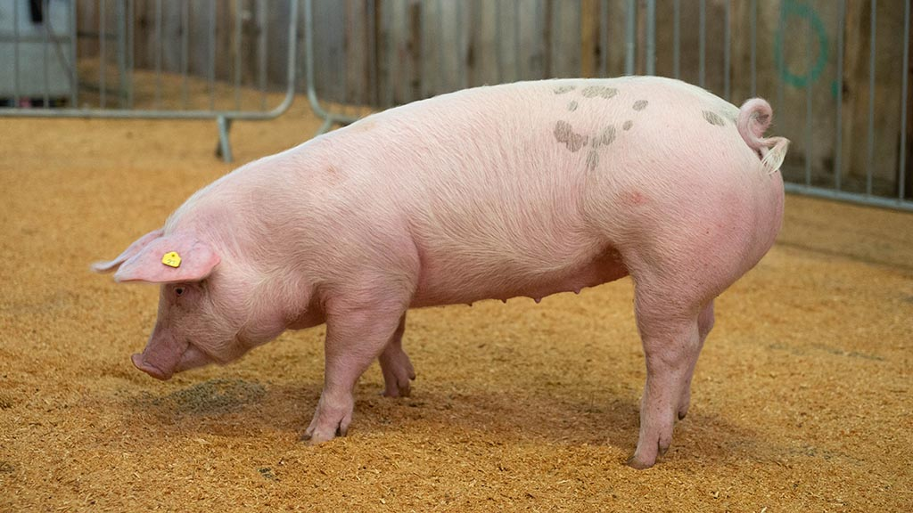 Supreme pig champion, a Pietrain cross gilt from Chris Hudson, Newark.