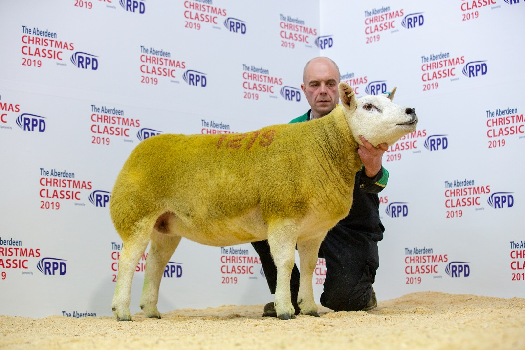 Texel gimmer from Hilltop flock which sold for 4,500gns