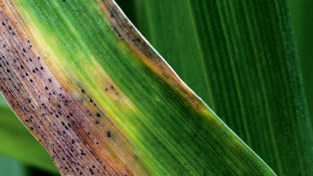 Stable year for septoria resistance to fungicides