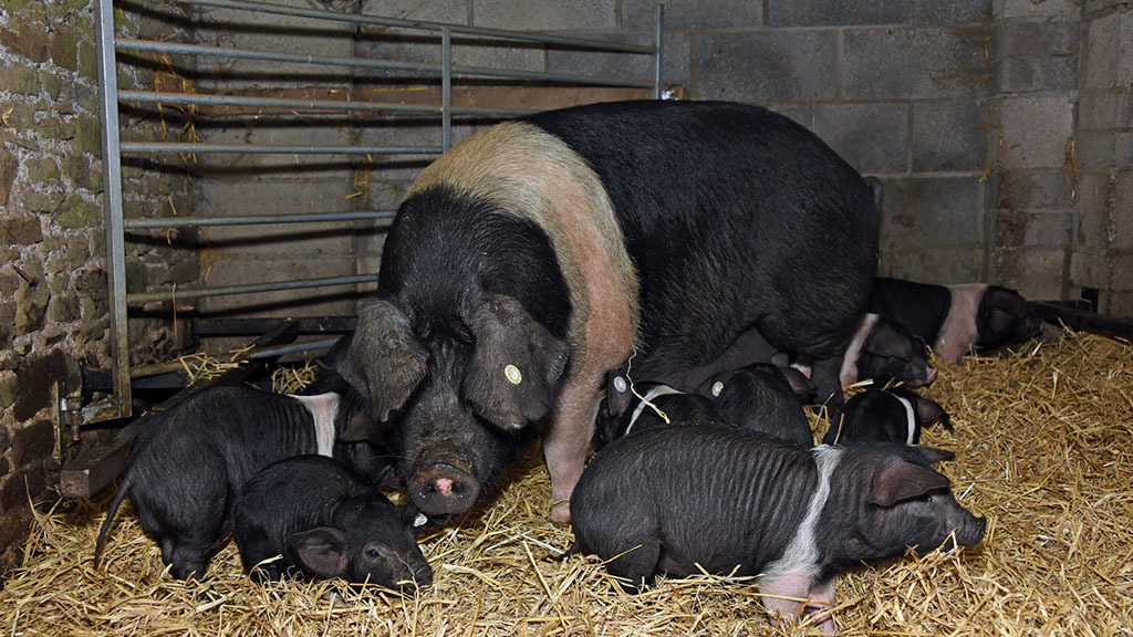 A post-Brexit ban on farrowing crates without proper support threatens UK ag's future