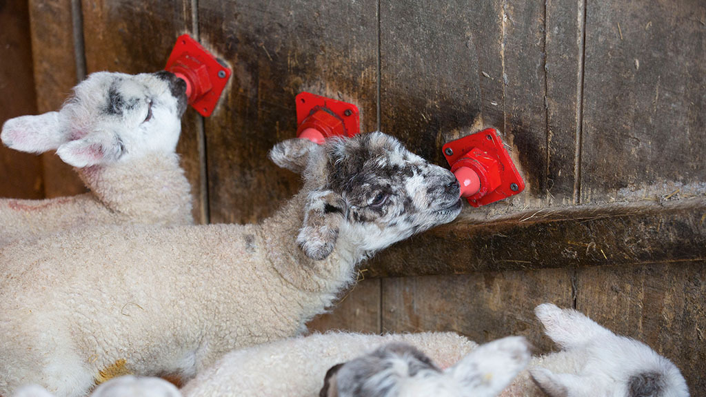 Sheep special: Sheep producers upbeat about future