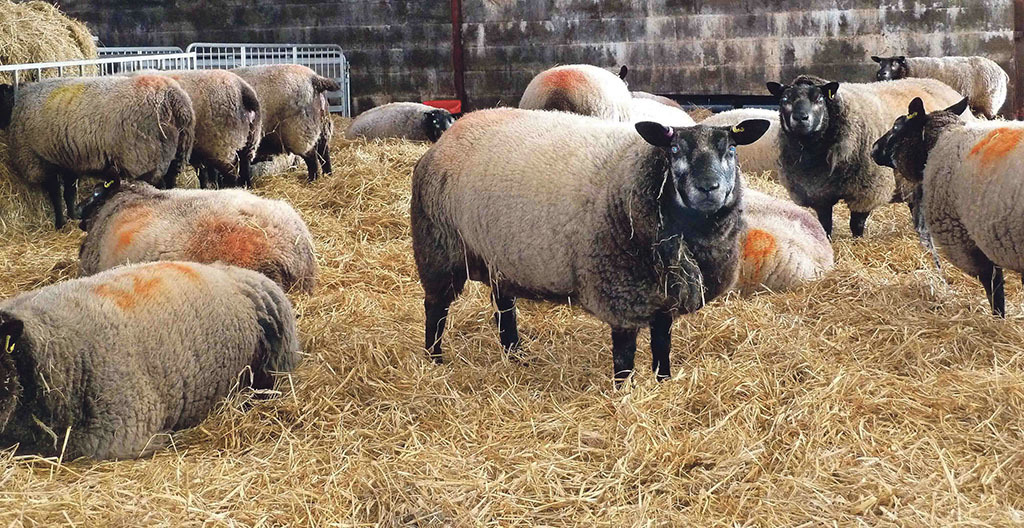 Sheep special: Invest in preventative flock health