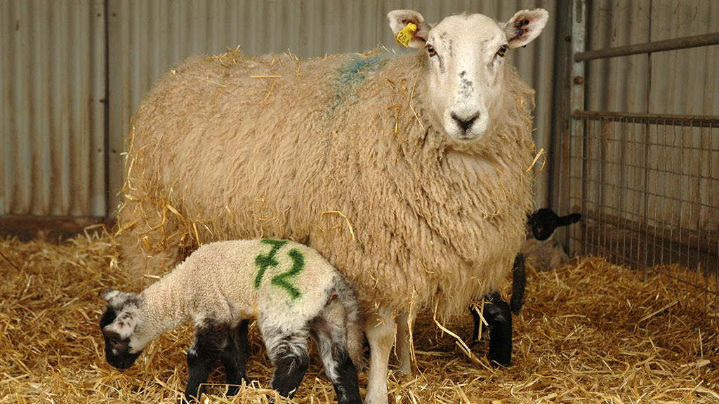 Sheep special: Key diseases for ewes and lambs at lambing time