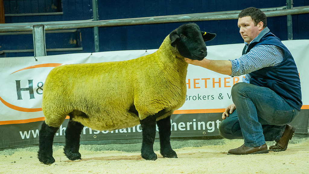 Dark Diamond Suffolks sell to 13,000gns