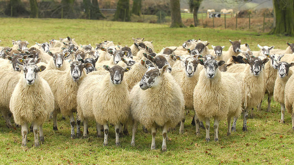 Police appeal to reunite 63 stolen sheep with owners