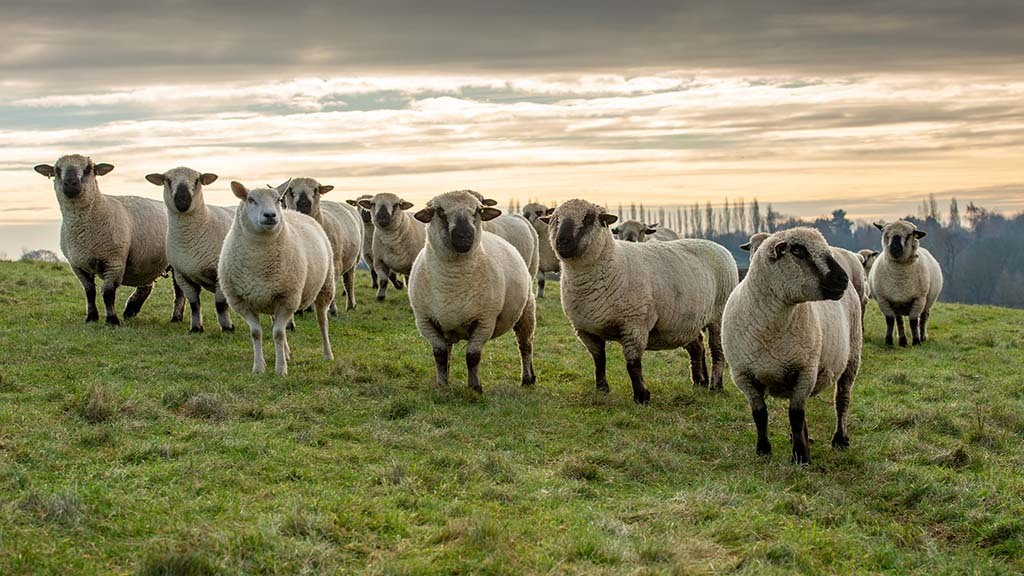 Some of the Hampshire Down ewes.