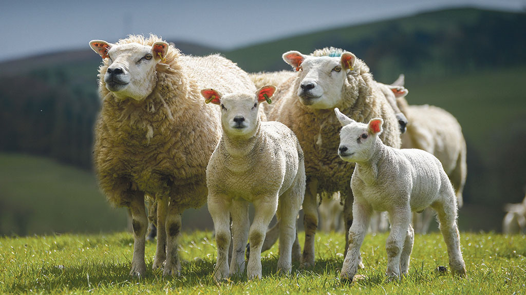 Police appeal after thieves steal flock of 50 sheep