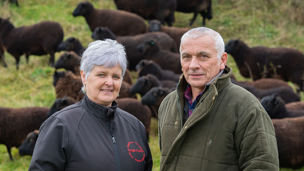 Centenary year for Black Welsh Mountain sheep