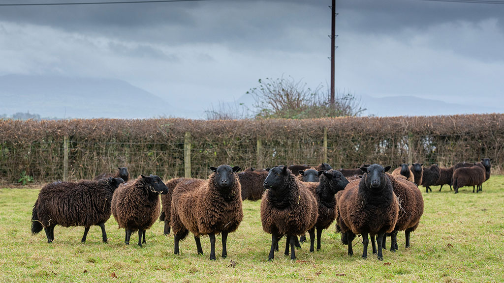 The Gaer flock is made up of 50 breeding ewes and 23 ewe lambs.