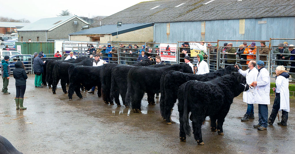 Welsh Blacks sell to 6,800gns at Dolgellau
